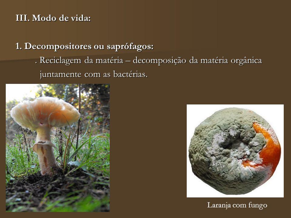 III. Modo de vida: 1. Decompositores ou saprófagos:. Reciclagem da matéria – decomposição da matéria orgânica juntamente com as bactérias. juntamente