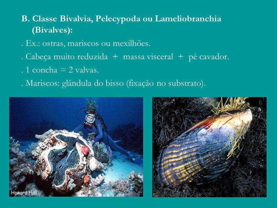 B. Classe Bivalvia, Pelecypoda ou Lameliobranchia (Bivalves):. Ex.: ostras, mariscos ou mexilhões.. Cabeça muito reduzida + massa visceral + pé cavado