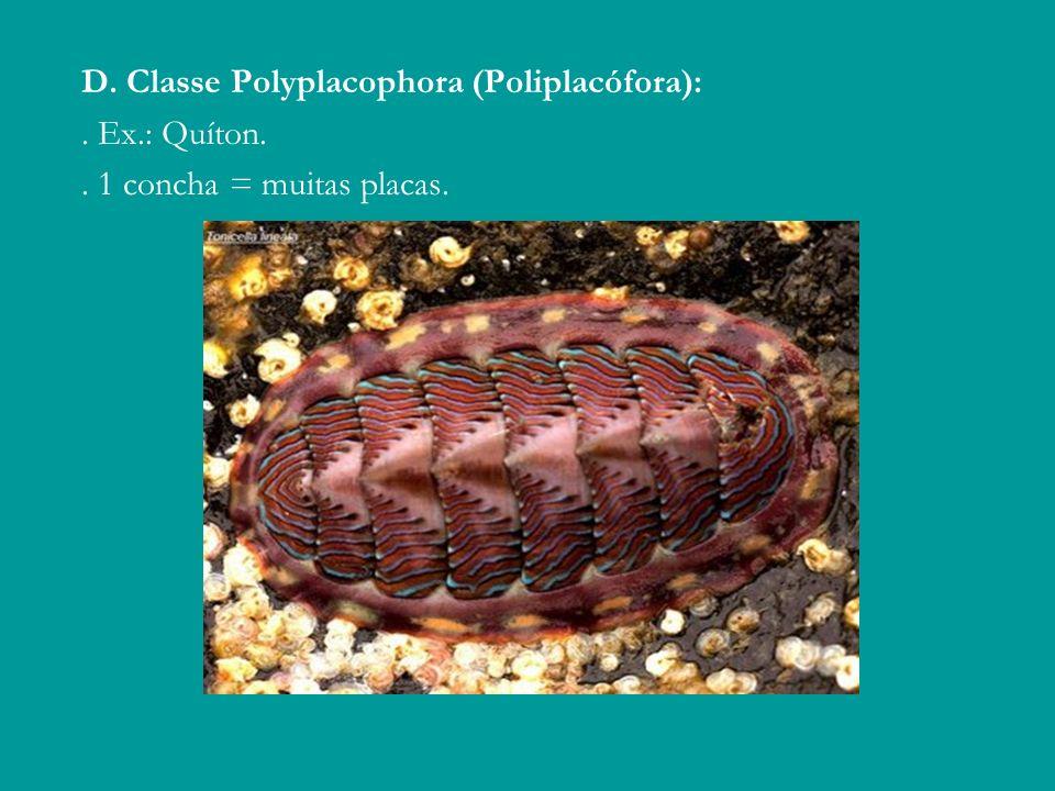D. Classe Polyplacophora (Poliplacófora):. Ex.: Quíton.. 1 concha = muitas placas.