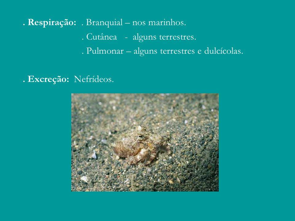 . Respiração:. Branquial – nos marinhos.. Cutânea - alguns terrestres.. Pulmonar – alguns terrestres e dulcícolas.. Excreção: Nefrídeos.