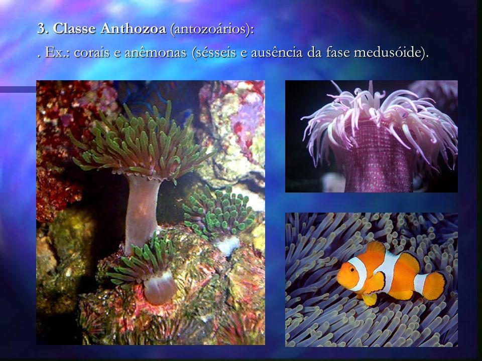 3. Classe Anthozoa (antozoários):. Ex.: corais e anêmonas (sésseis e ausência da fase medusóide).