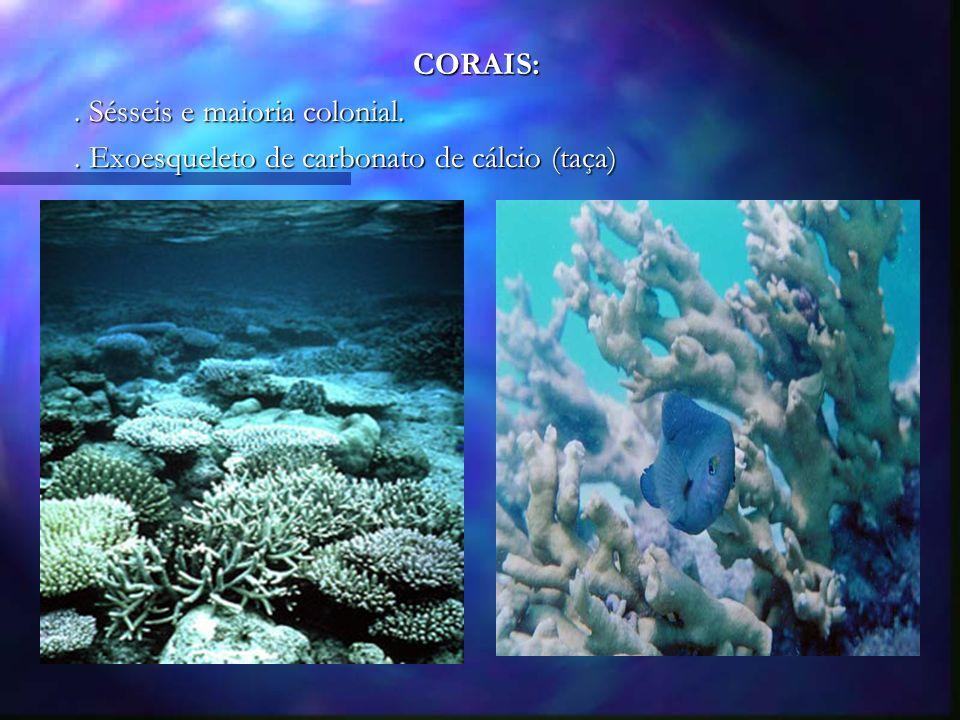 CORAIS:. Sésseis e maioria colonial.. Exoesqueleto de carbonato de cálcio (taça)