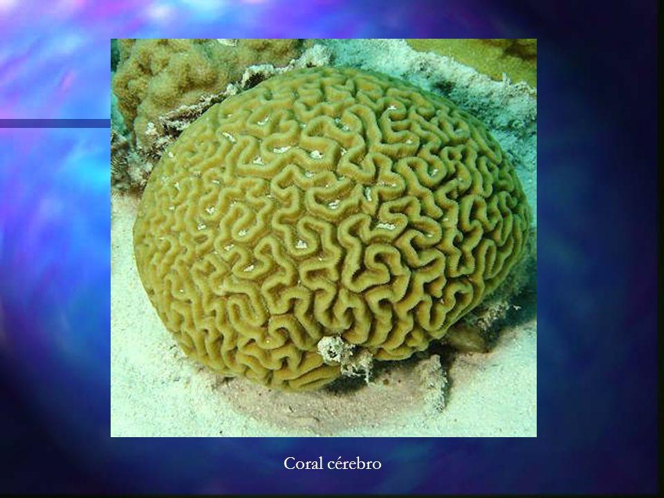 Coral cérebro
