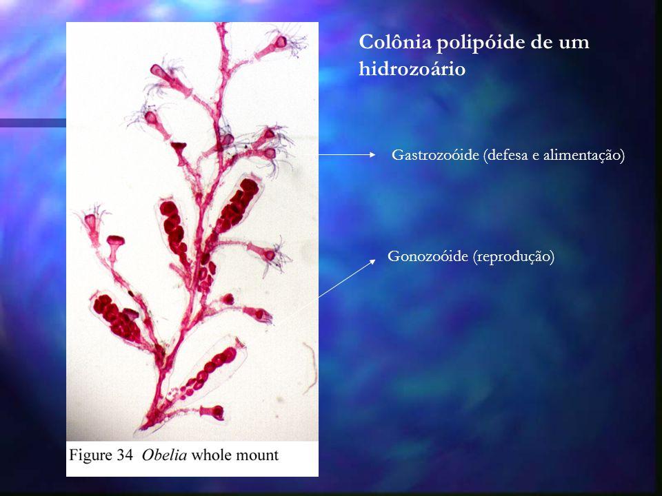 Colônia polipóide de um hidrozoário Gastrozoóide (defesa e alimentação) Gonozoóide (reprodução)