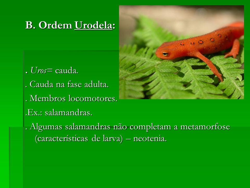 B. Ordem Urodela:. Uros= cauda.. Cauda na fase adulta.. Membros locomotores..Ex.: salamandras.. Algumas salamandras não completam a metamorfose (carac