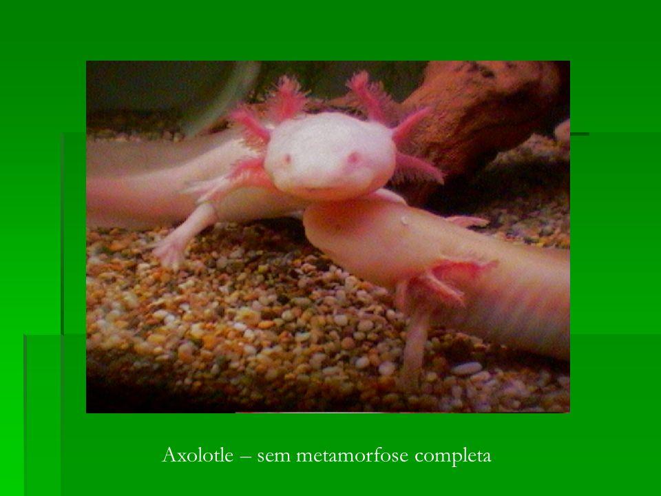 Axolotle – sem metamorfose completa