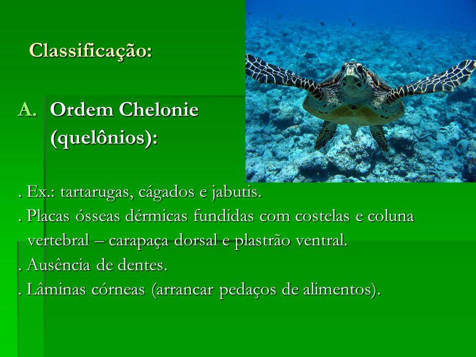 Classificação: A.Ordem Chelonie (quelônios): (quelônios):. Ex.: tartarugas, cágados e jabutis.. Placas ósseas dérmicas fundidas com costelas e coluna