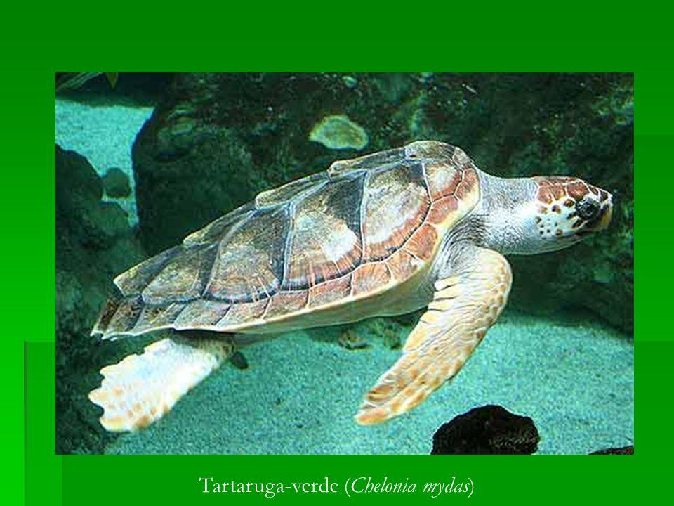 Tartaruga-verde (Chelonia mydas)
