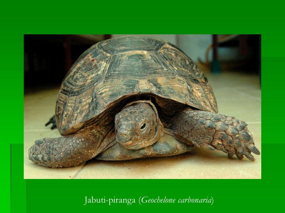 Jabuti-piranga (Geochelone carbonaria)
