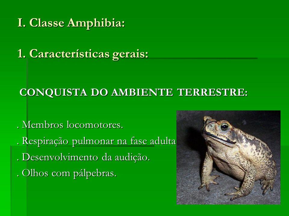I. Classe Amphibia: 1. Características gerais: CONQUISTA DO AMBIENTE TERRESTRE: CONQUISTA DO AMBIENTE TERRESTRE:. Membros locomotores.. Membros locomo