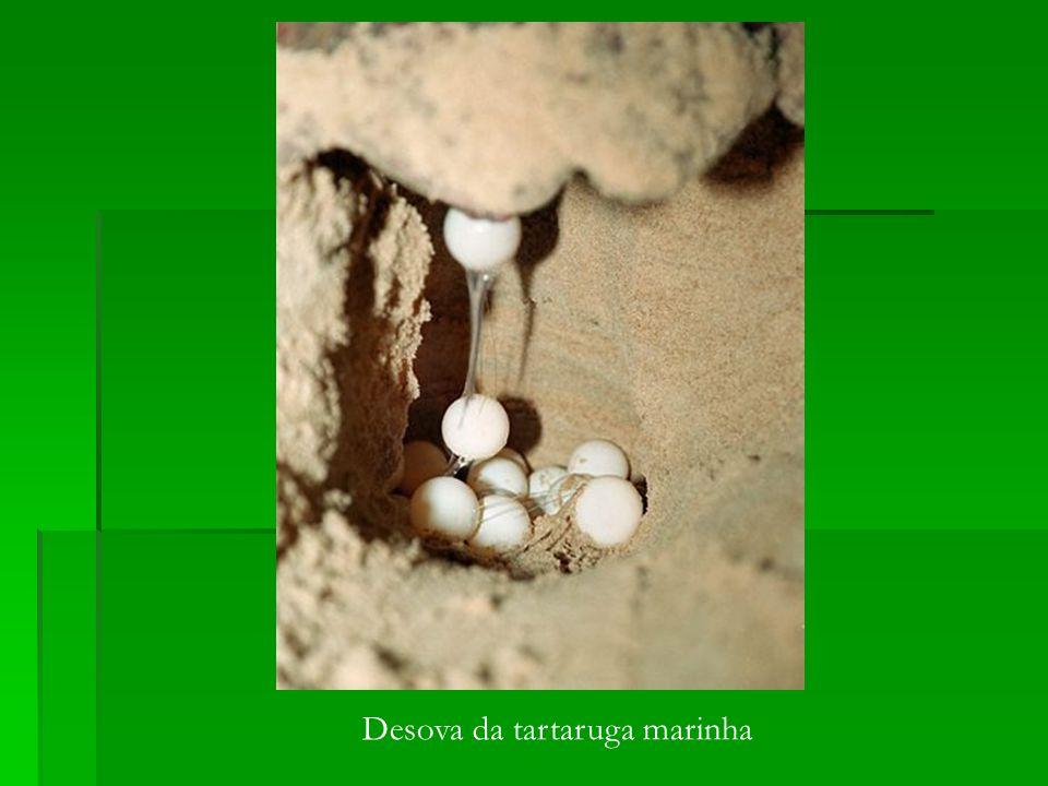 Desova da tartaruga marinha
