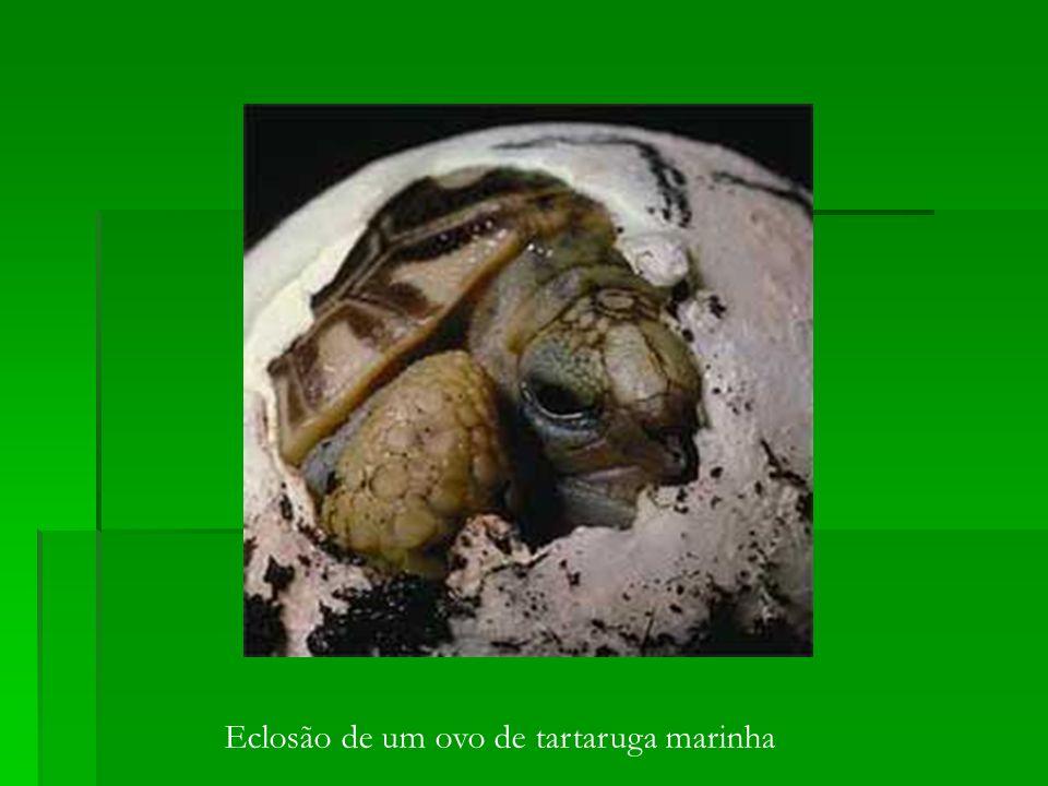 Eclosão de um ovo de tartaruga marinha