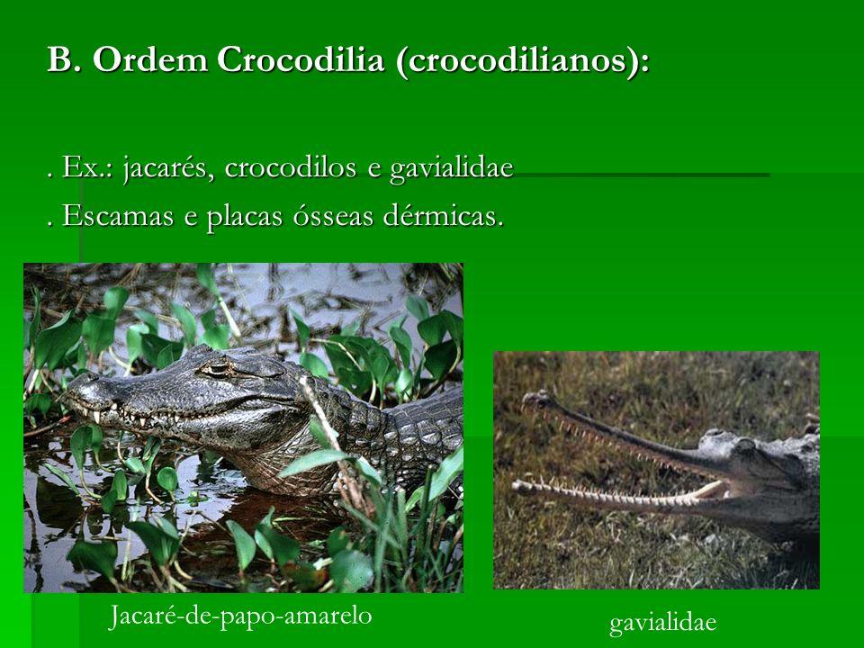 B. Ordem Crocodilia (crocodilianos):. Ex.: jacarés, crocodilos e gavialidae. Escamas e placas ósseas dérmicas. Jacaré-de-papo-amarelo gavialidae