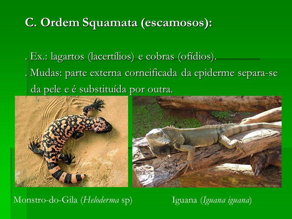 C. Ordem Squamata (escamosos):. Ex.: lagartos (lacertílios) e cobras (ofídios).. Mudas: parte externa corneificada da epiderme separa-se da pele e é s