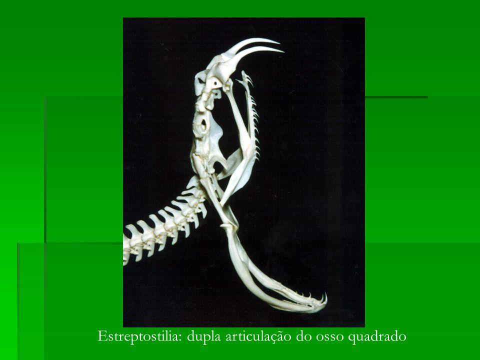 Estreptostilia: dupla articulação do osso quadrado