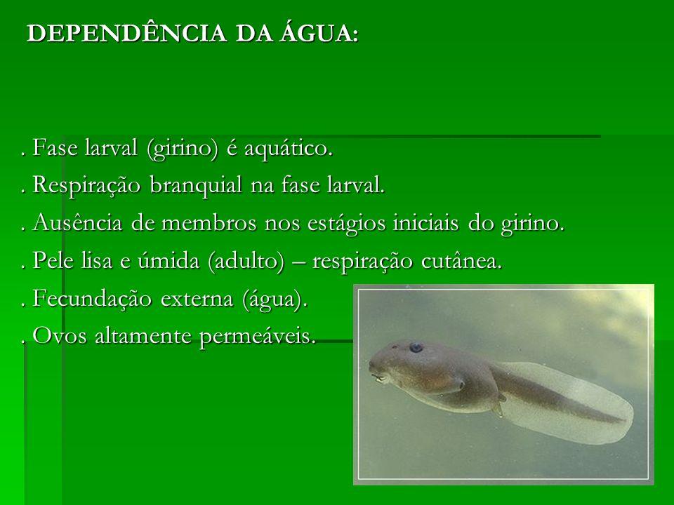 DEPENDÊNCIA DA ÁGUA: DEPENDÊNCIA DA ÁGUA:. Fase larval (girino) é aquático.. Respiração branquial na fase larval.. Ausência de membros nos estágios in