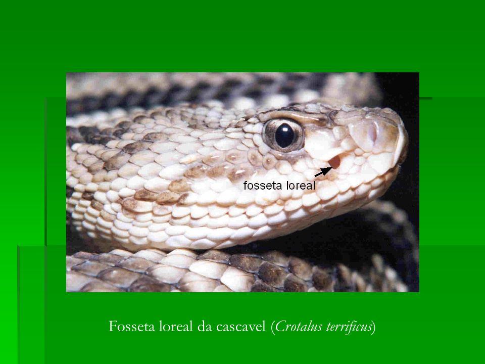 Fosseta loreal da cascavel (Crotalus terrificus)