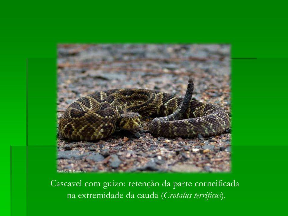Cascavel com guizo: retenção da parte corneificada na extremidade da cauda (Crotalus terrificus).