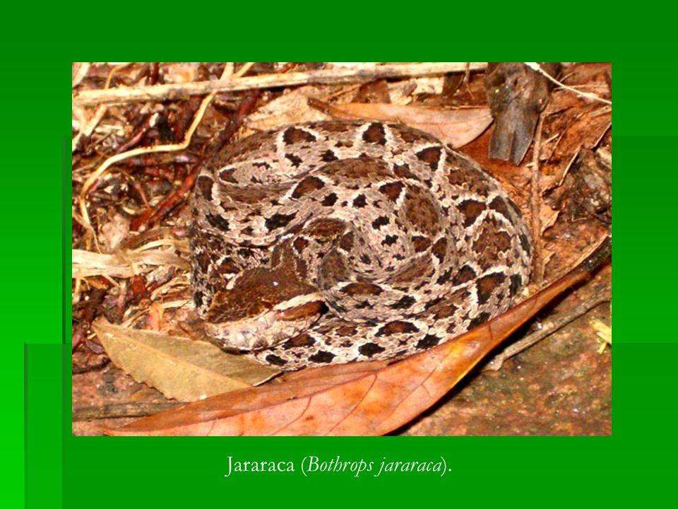 Jararaca (Bothrops jararaca).