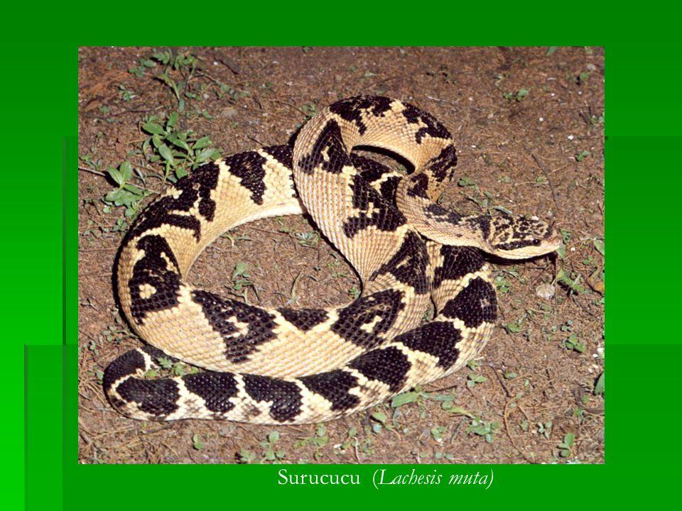 Surucucu (Lachesis muta)