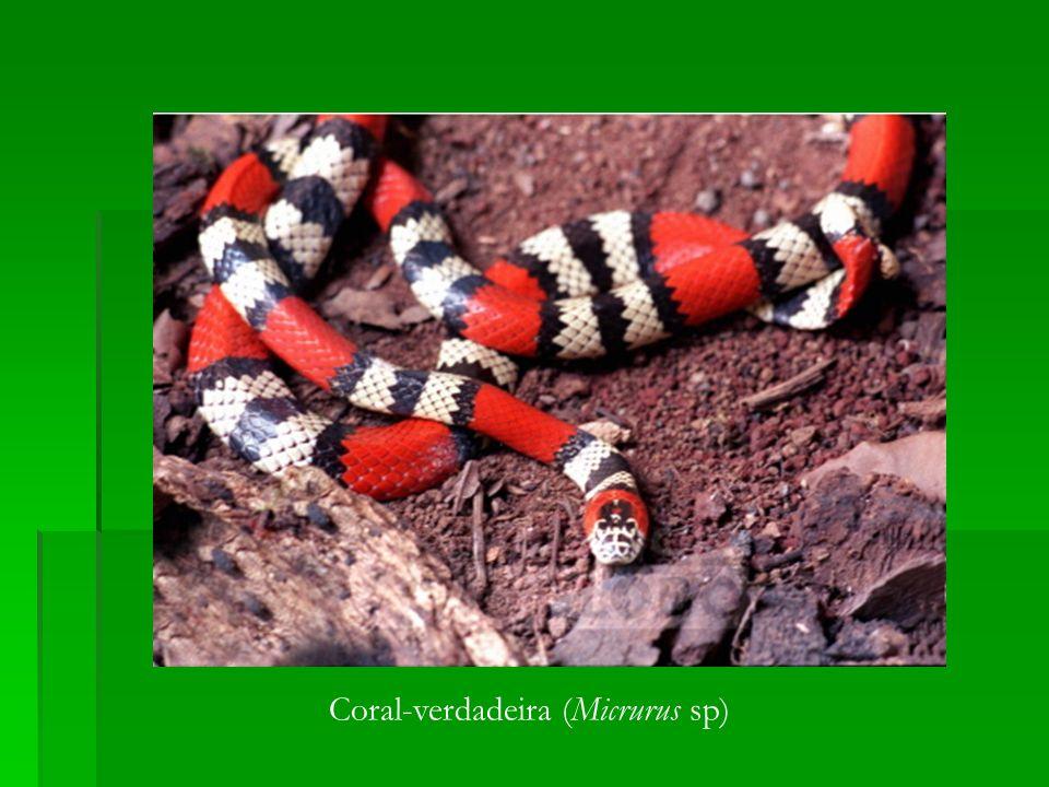 Coral-verdadeira (Micrurus sp)