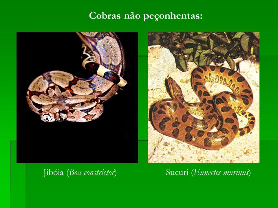Cobras não peçonhentas: Jibóia (Boa constrictor)Sucuri (Eunectes murinus)
