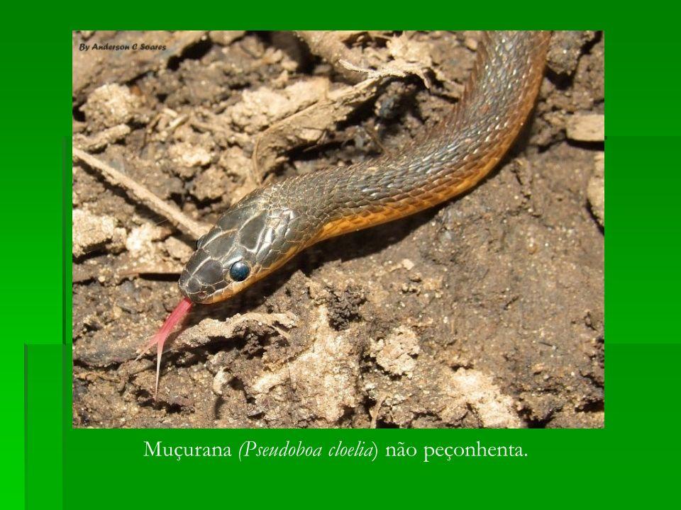 Muçurana (Pseudoboa cloelia) não peçonhenta.