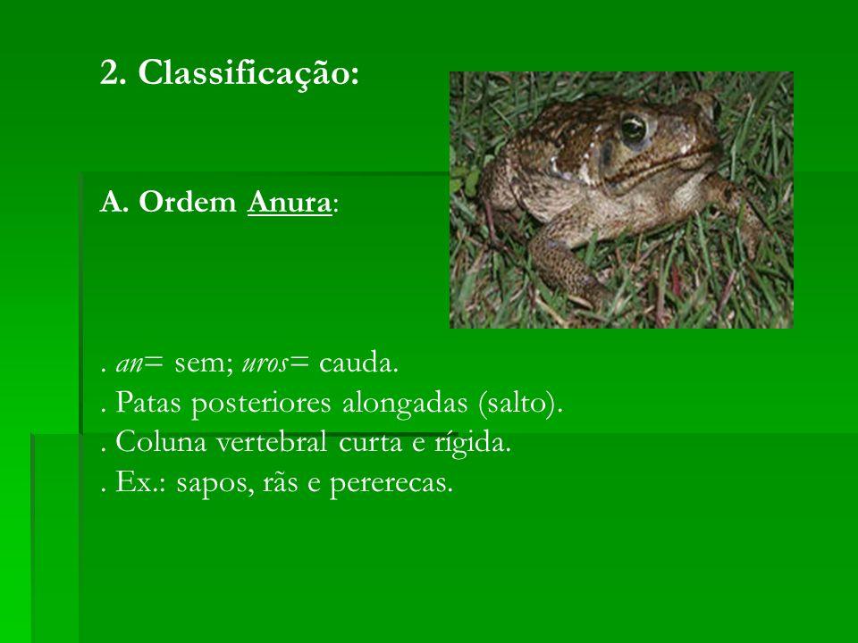 2. Classificação: A. Ordem Anura:. an= sem; uros= cauda.. Patas posteriores alongadas (salto).. Coluna vertebral curta e rígida.. Ex.: sapos, rãs e pe