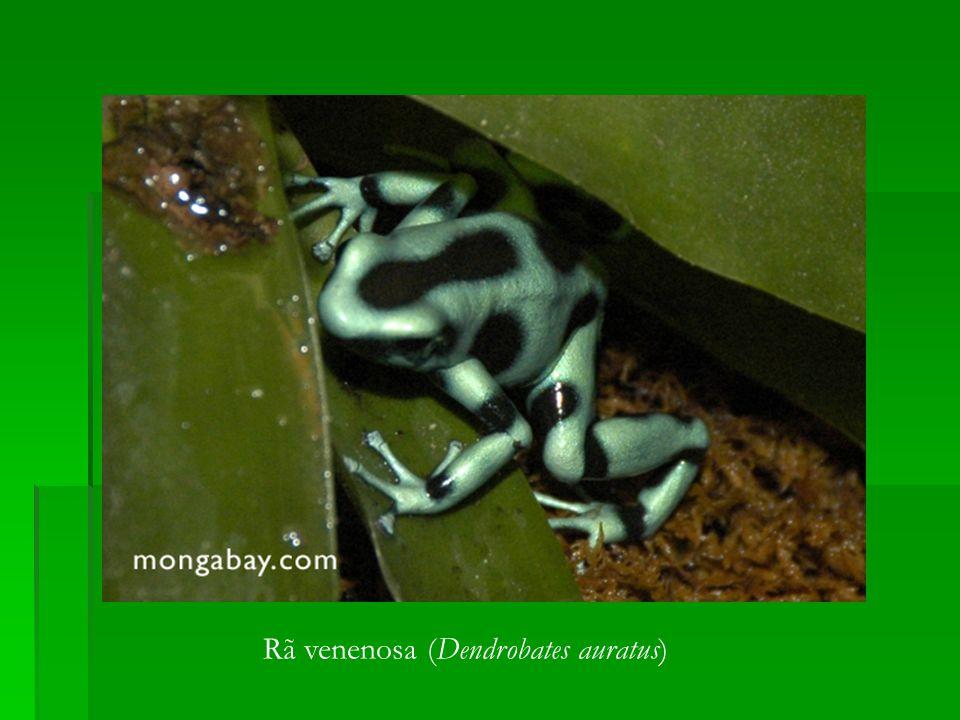 Rã venenosa (Dendrobates auratus)