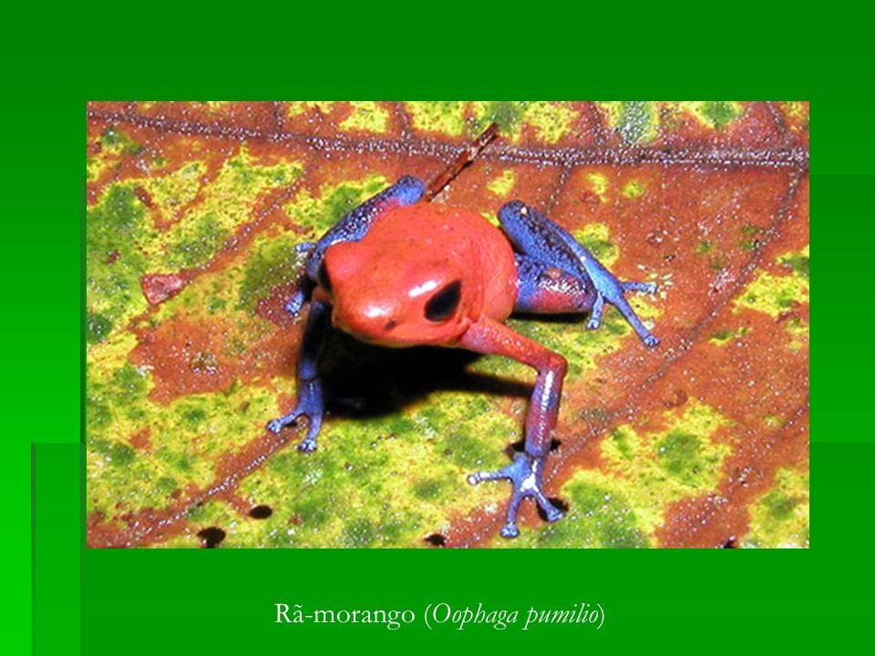 Rã-morango (Oophaga pumilio)