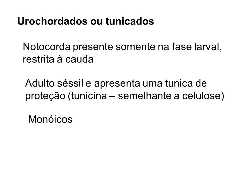 Urochordados ou tunicados Notocorda presente somente na fase larval, restrita à cauda Adulto séssil e apresenta uma tunica de proteção (tunicina – sem