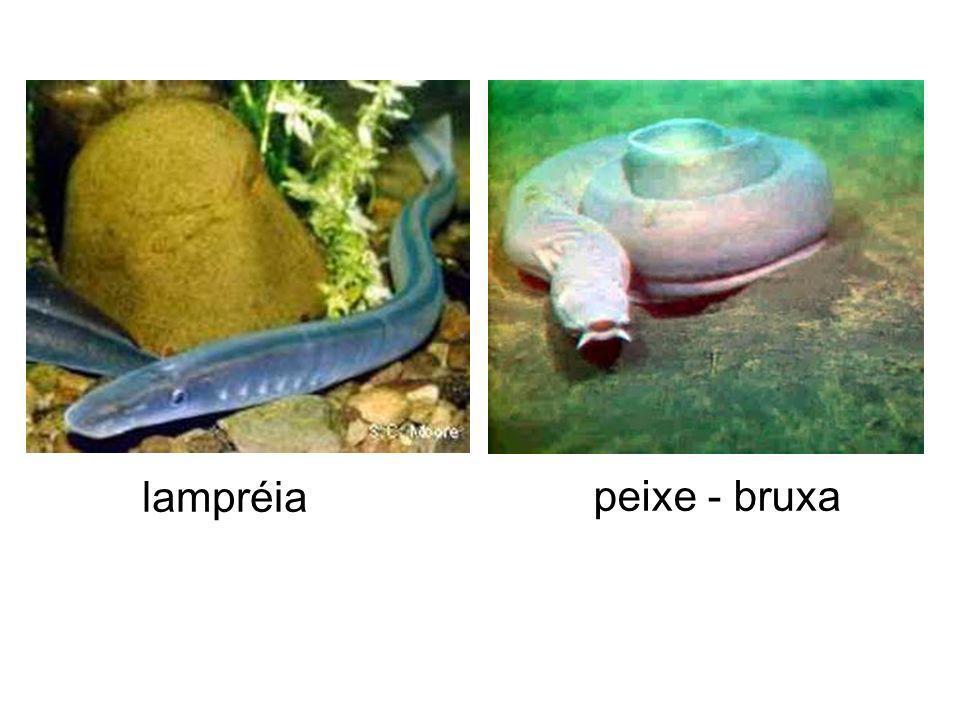 lampréia peixe - bruxa
