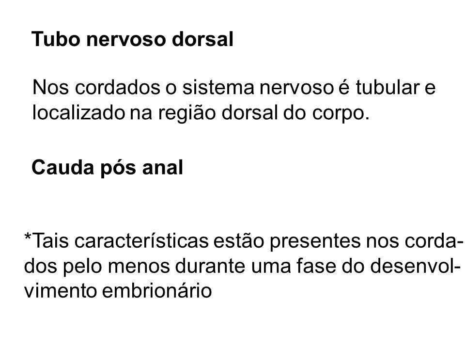Tubo nervoso dorsal Nos cordados o sistema nervoso é tubular e localizado na região dorsal do corpo. Cauda pós anal *Tais características estão presen