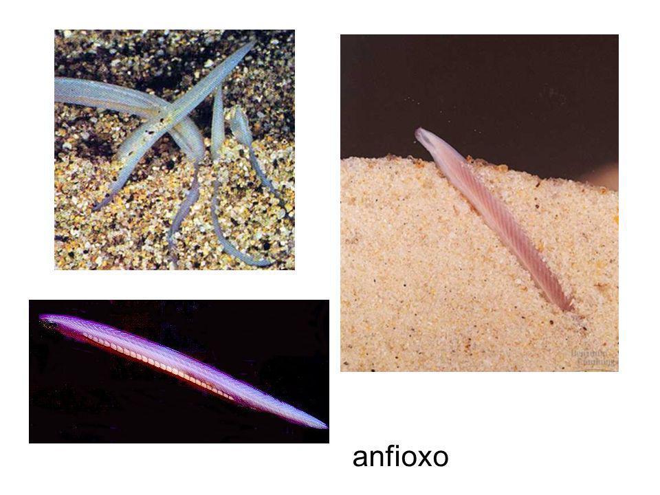 Urochordados ou tunicados Notocorda presente somente na fase larval, restrita à cauda Adulto séssil e apresenta uma tunica de proteção (tunicina – semelhante a celulose) Monóicos