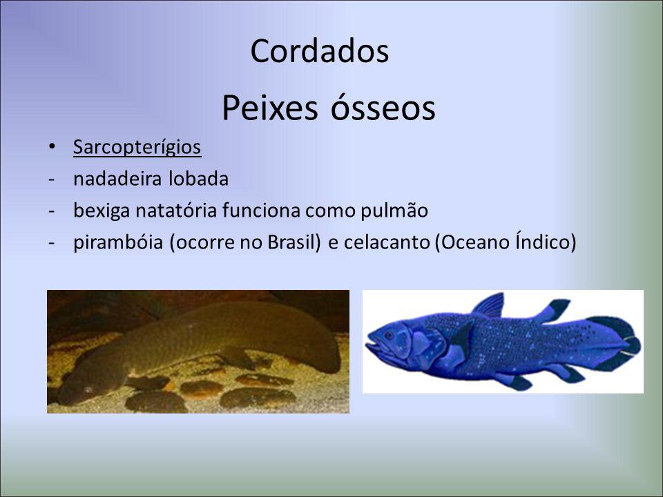 Cordados Peixes ósseos Sarcopterígios -nadadeira lobada -bexiga natatória funciona como pulmão -pirambóia (ocorre no Brasil) e celacanto (Oceano Índic