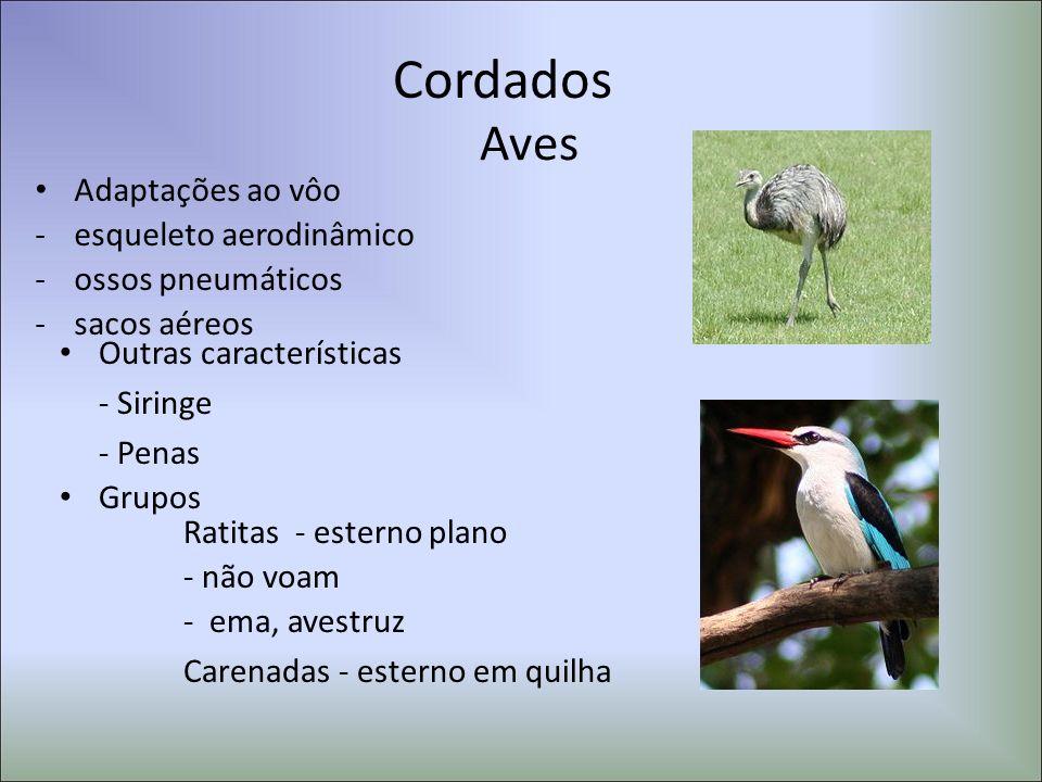 Cordados Aves Adaptações ao vôo -esqueleto aerodinâmico -ossos pneumáticos -sacos aéreos Outras características - Siringe - Penas Grupos Ratitas - est