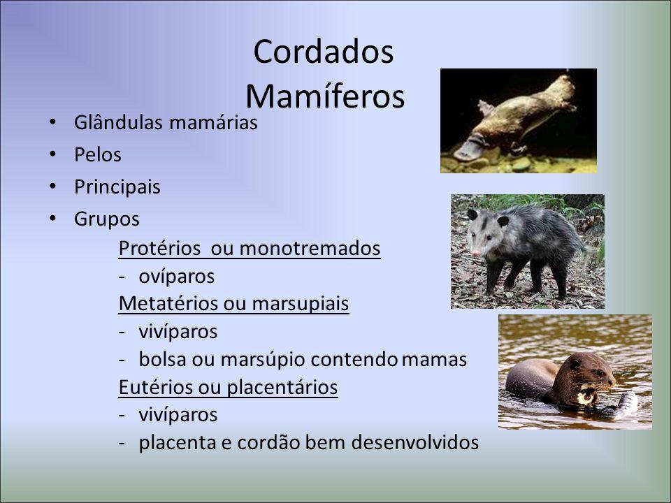 Cordados Mamíferos Glândulas mamárias Pelos Principais Grupos Protérios ou monotremados -ovíparos Metatérios ou marsupiais -vivíparos -bolsa ou marsúp