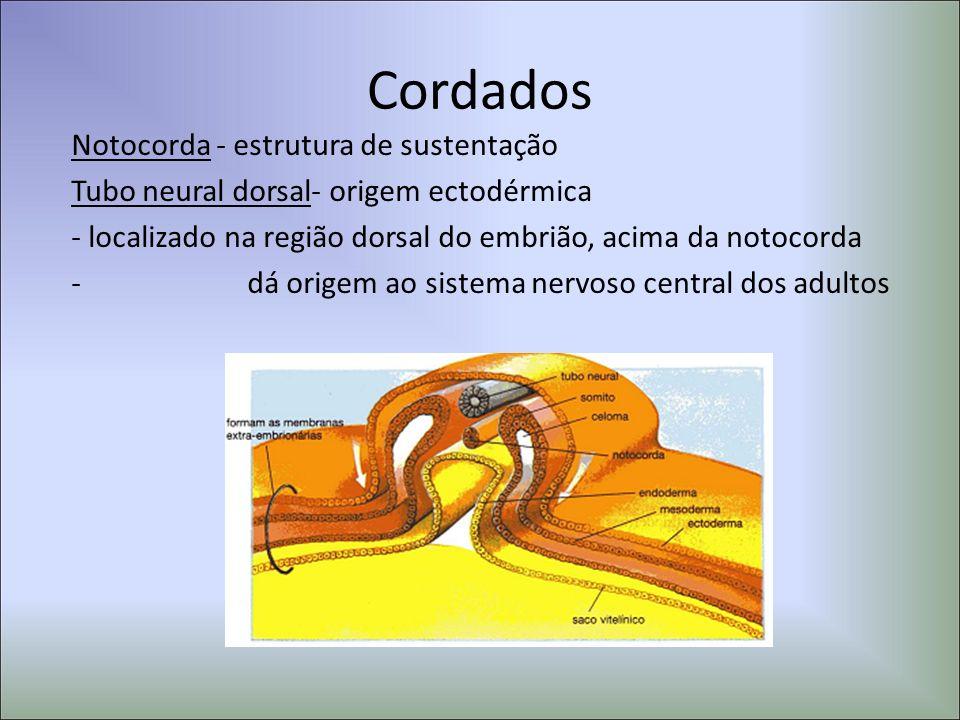 Cordados Notocorda - estrutura de sustentação Tubo neural dorsal- origem ectodérmica - localizado na região dorsal do embrião, acima da notocorda - dá