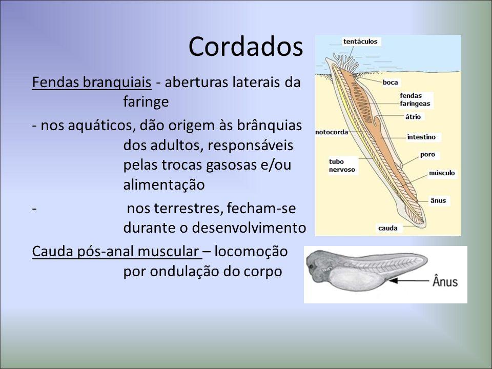 Cordados Fendas branquiais - aberturas laterais da faringe - nos aquáticos, dão origem às brânquias dos adultos, responsáveis pelas trocas gasosas e/o