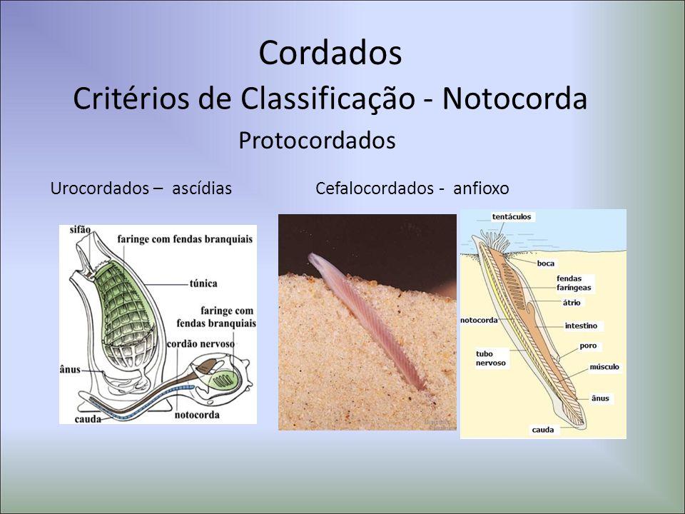 Cordados Protocordados Urocordados – ascídiasCefalocordados - anfioxo Critérios de Classificação - Notocorda