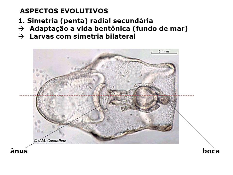 Protista ancestral flagelado Multicelularidade Porifera Cnidaria Desenvolvimento embrionário: mórula e blástula Gastrulação e tecidos verdadeiros (Eum