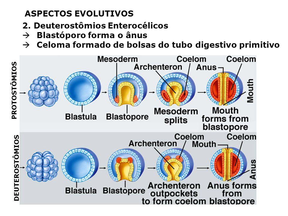 ASPECTOS EVOLUTIVOS 1. Simetria (penta) radial secundária Adaptação a vida bentônica (fundo de mar) Larvas com simetria bilateral ânusboca