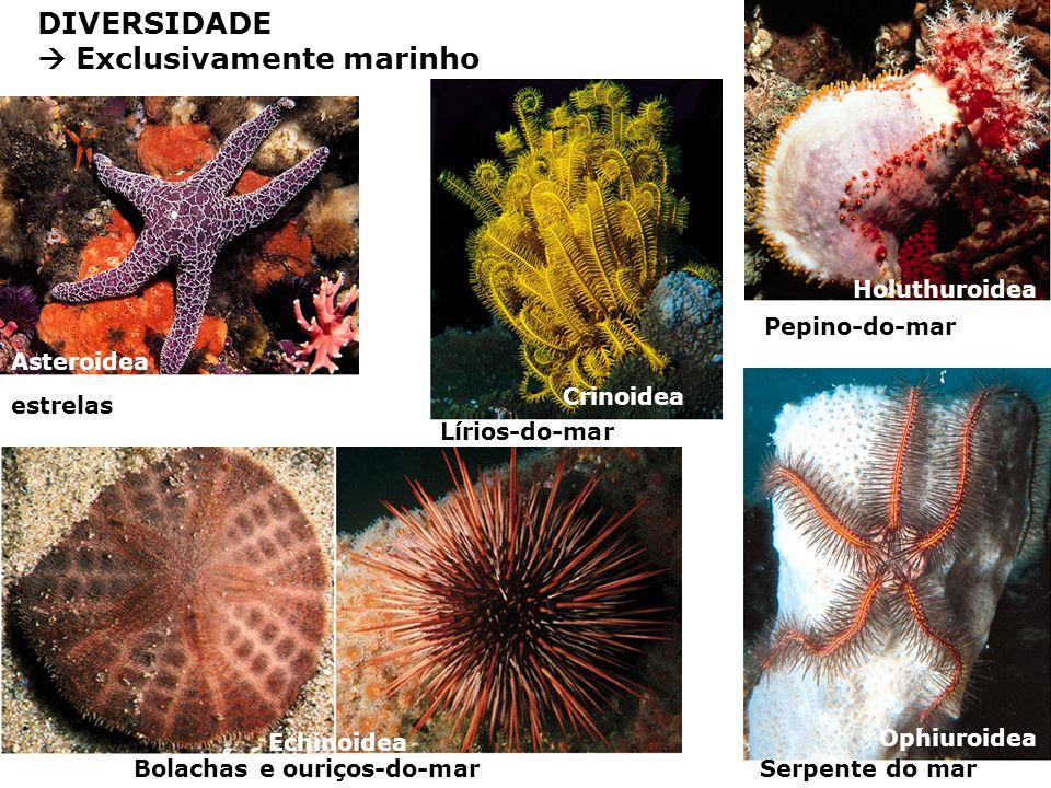 DIVERSIDADE Exclusivamente marinho Asteroidea Echinoidea Crinoidea Ophiuroidea Holuthuroidea estrelas Lírios-do-mar Bolachas e ouriços-do-marSerpente do mar Pepino-do-mar
