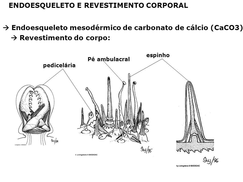 ENDOESQUELETO E REVESTIMENTO CORPORAL Endoesqueleto mesodérmico de carbonato de cálcio (CaCO3) pedicelária Pé ambulacral espinho Revestimento do corpo:
