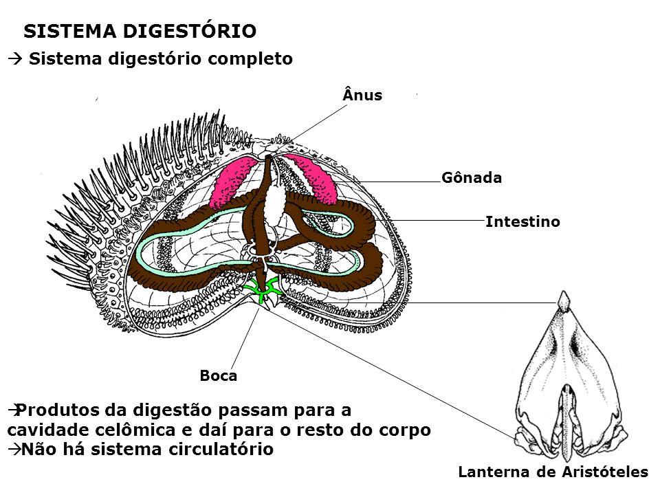 Lanterna de Aristóteles Boca Ânus Intestino Gônada SISTEMA DIGESTÓRIO Sistema digestório completo Produtos da digestão passam para a cavidade celômica e daí para o resto do corpo Não há sistema circulatório