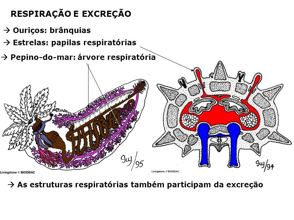 RESPIRAÇÃO E EXCREÇÃO Ouriços: brânquias Estrelas: papilas respiratórias Pepino-do-mar: árvore respiratória As estruturas respiratórias também participam da excreção