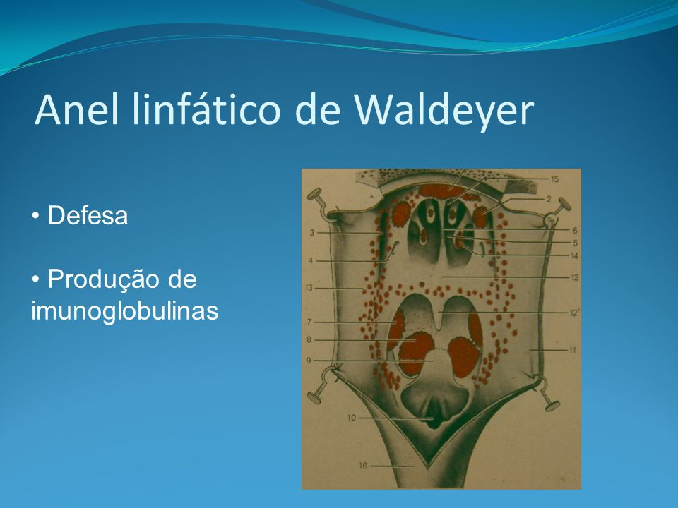 Anel linfático de Waldeyer Defesa Produção de imunoglobulinas