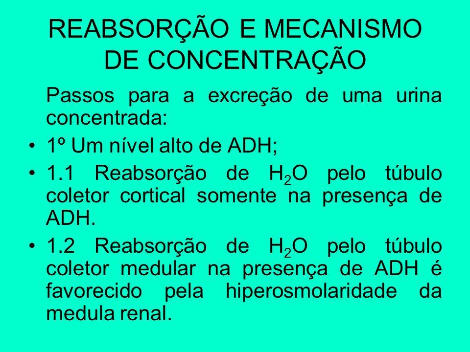 REABSORÇÃO E MECANISMO DE CONCENTRAÇÃO Passos para a excreção de uma urina concentrada: 1º Um nível alto de ADH; 1.1 Reabsorção de H 2 O pelo túbulo c