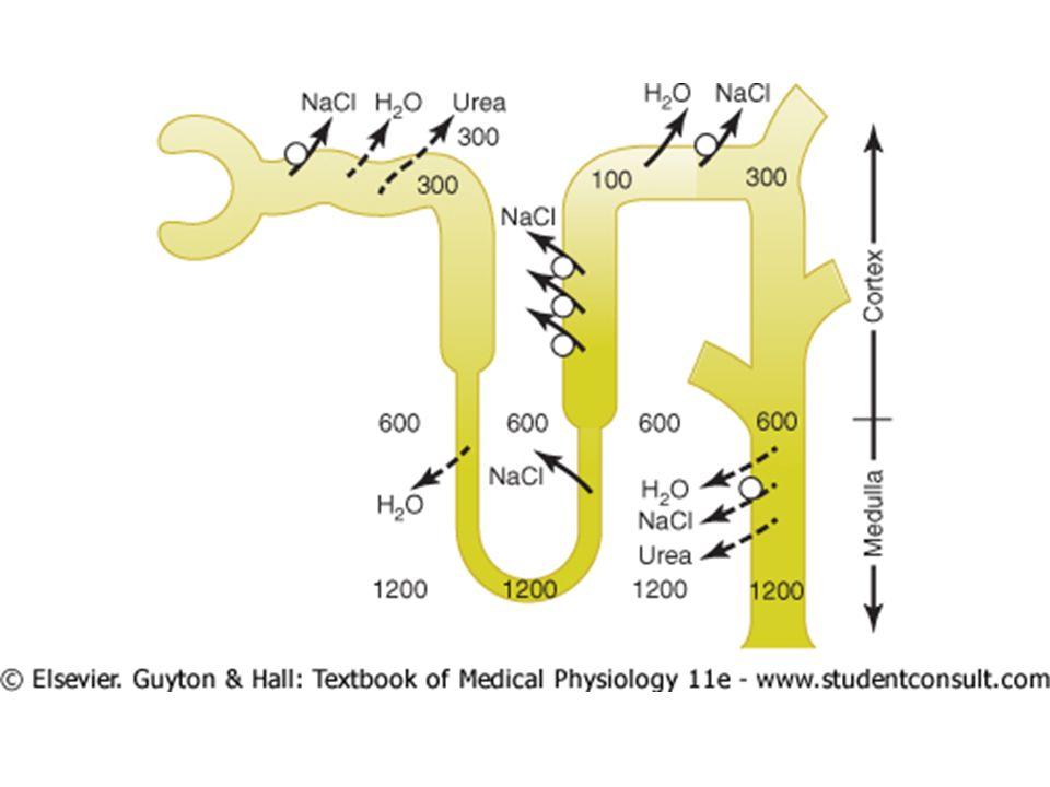 REABSORÇÃO E MECANISMO DE CONCENTRAÇÃO 2º Uma alta osmolaridade do líquido intersticial medular renal; 2.1 Fluxo ativo de íons da alça de Henle e coletores para a medula; 2.2 Difusão de uréia dos coletores medulares para a medula; 2.3 Osmose.