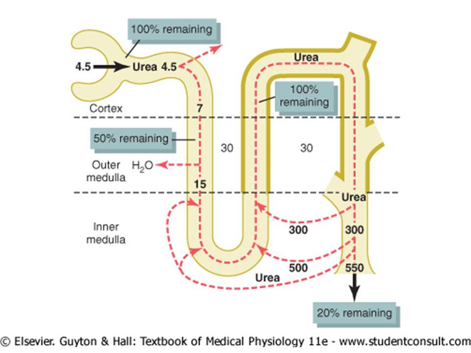 REABSORÇÃO E MECANISMO DE CONCENTRAÇÃO A causa mais importante da hiperosmolaridade medular é o co- transporte 1 sódio – 2 potássio – 2 cloreto através do epitélio do ramo ascendente da alça de Henle para o interstício medular.